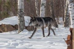 Il lupus nero di Grey Wolf Canis di fase trotta a sinistra Immagini Stock