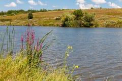 Il Lythrum Salicaria della salicaria comune fiorisce sopra lakeshore immagine stock libera da diritti