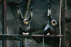 Il macaco Immagini Stock