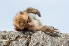 Il macaco di Barbary si trova pigro su una pietra al sole sulla sua parte posteriore fotografia stock