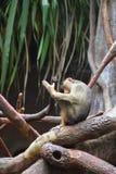 Il macaco di granchio-cibo Immagini Stock