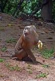 Il macaco maiale-munito Primo piano Fotografia Stock Libera da Diritti
