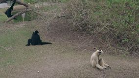 Il macaco nero divertente salta sul tronco di albero dal piccolo lago verde video d archivio