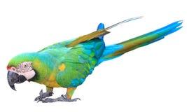 Il macaw verde variopinto del pappagallo ha isolato Fotografia Stock