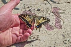Il machaon di Papilio della farfalla ha messo su una mano Immagine Stock Libera da Diritti