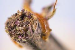 Il macro dettaglio della cannabis congiunge con un certo olio sulla punta - medica Immagine Stock Libera da Diritti