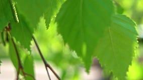 Il macro metraggio della betulla lascia l'ondeggiamento sulla brezza stock footage