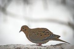 Il macroura o la pioggia americano di zenaida delle colombe di dolore si è tuffata Fotografie Stock