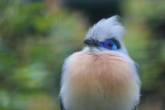 Il Madagascar crestato coucal Fotografie Stock