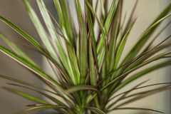 Il Madagascar Dragon Tree Fotografia Stock