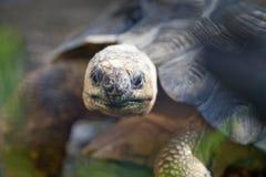 Il Madagascar ha irradiato la testa del Tortoise Fotografie Stock