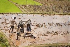 Il Madagascar - 23 ottobre 2015: I ragazzi e gli zebù che raccolgono un riso fangoso sistemano un giorno caldo nel Madagascar Immagine Stock Libera da Diritti