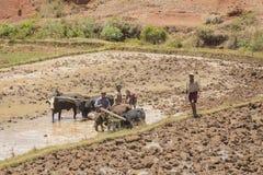 Il Madagascar - 23 ottobre 2015: I ragazzi e gli zebù che raccolgono un riso fangoso sistemano un giorno caldo nel Madagascar Fotografia Stock