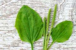 Il maggior psyllium fresco del plantano lascia e chioda i fiori sui precedenti di legno miseri bianchi Erbario, medicina di erbe  Fotografia Stock