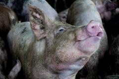 Il maiale assetato, mangia l'acqua in azienda agricola Immagini Stock