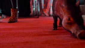 Il maiale decorativo cammina nella stanza scura con l'illuminazione rossa, fra le gambe della gente archivi video