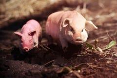 Il maiale del giocattolo in fauna selvatica ha fotografato il giocattolo all'aperto fotografie stock