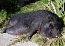 Il maiale di sonno fotografie stock