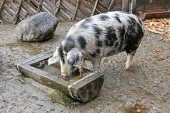 Il maiale di Turopolje, maiale bianco europeo della scrofa con i punti neri beve Immagini Stock Libere da Diritti