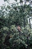 Il maiale ha munito il macaco di coda che si siede e che guarda in mezzo alla foresta pluviale del Borneo fotografia stock libera da diritti