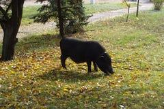 Il maiale nero che si alimenta alla sosta della città Immagini Stock