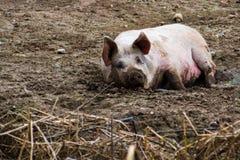 Il maiale rilassato gode del fango fuori, l'agricoltura animale della gamma libera, n Immagine Stock Libera da Diritti