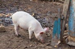 Il maiale rosa sta mangiando vicino al vecchio recinto blu Immagini Stock