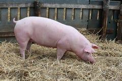 Il maiale su fieno e la paglia all'allevamento del maiale coltivano Immagini Stock Libere da Diritti