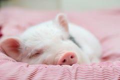 Il maiale sveglio dorme su una coperta a strisce Maiale di Natale fotografia stock