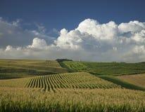 Il mais e la soia sistema sotto le nuvole drammatiche nella sera Immagine Stock