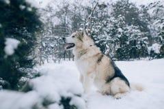 Il Malamute d'Alasca del cane sta sedendosi nella neve nella foresta dell'inverno immagini stock
