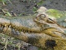 Il malocchio - primo piano spaventoso del bulbo oculare del coccodrillo dell'alligatore fotografia stock