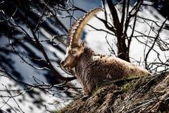 Il mammifero cornuto alpino ha nominato lo stambecco delle Alpi o il capra ibex in montagna Fotografia Stock Libera da Diritti