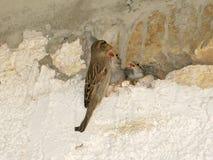 La mamma dell'uccello le alimenta gli uccellini implumi Fotografie Stock
