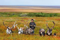 Il mandriano del nomade conduce la slitta con legna da ardere ad un campo Immagini Stock Libere da Diritti