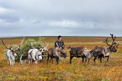 Il mandriano del nomade conduce la slitta con legna da ardere ad un campo Fotografie Stock