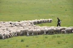 Il mandriano e la sua moltitudine delle pecore Immagini Stock