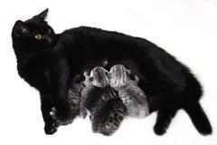 Il mangime per gatti i gattini Immagine Stock