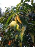 Il mango è sull'albero fotografie stock libere da diritti