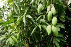 Il mango è un mazzo su un albero con le formiche rosse Fotografia Stock Libera da Diritti