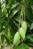 Il mango è un mazzo su un albero con le formiche rosse Immagini Stock