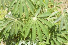 Il Manihot esculenta è un nativo legnoso dell'arbusto nel Sudamerica Coltivato come raccolto annuale nelle regioni tropicali e su fotografie stock