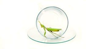 Il mantide verde sta posando su una tazza di vetro trasparente, fine su, sel Immagine Stock