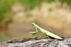 Il mantide verde sta sedendosi sul legno e esamina la distanza Mantis Religiosa Fotografia Stock