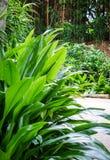 Il Marantaceae lascia al parco in Melaka, Malesia fotografia stock