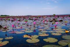 Il mare di loto rosso fotografia stock