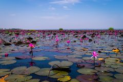 Il mare di loto rosso fotografia stock libera da diritti