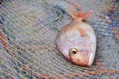Il marinaio popolare di pagro ha allevato il pesce sulle reti da pesca Fotografia Stock