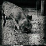 Il marrone sabbioso e nero di Oxford del porcellino ha macchiato il maiale Immagine Stock Libera da Diritti