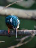 Il martin pescatore comune (atthis del Alcedo) Immagine Stock Libera da Diritti